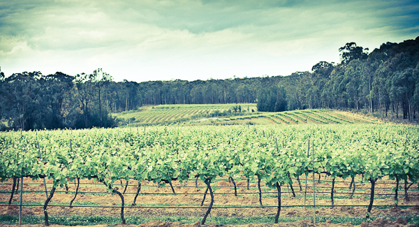 Hunter Valley vines