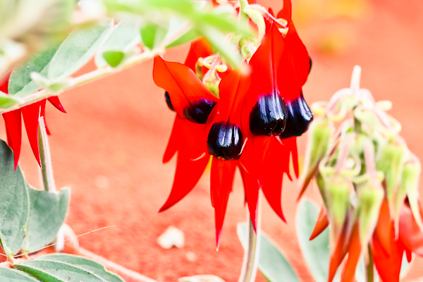 Sturt Desert Pea Close